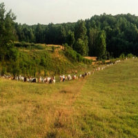 Our Goats grazing in the back pasture on healthy grass.