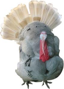 Big White and Grey Turkey.
